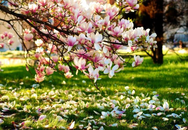 cvety-magnolii-butony-923895